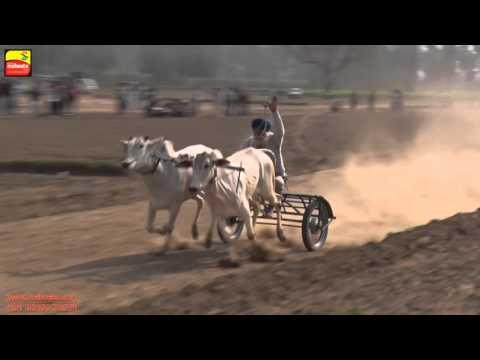DHATT (Hoshiarpur) !! BULLOCK CART RACES - 2016    Full HD   