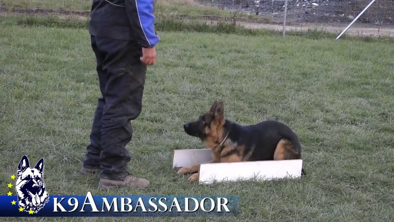 Puppy Obedience Training Justice Atok 5 Months Old German