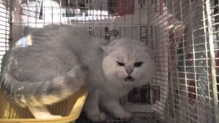 шипящий кот