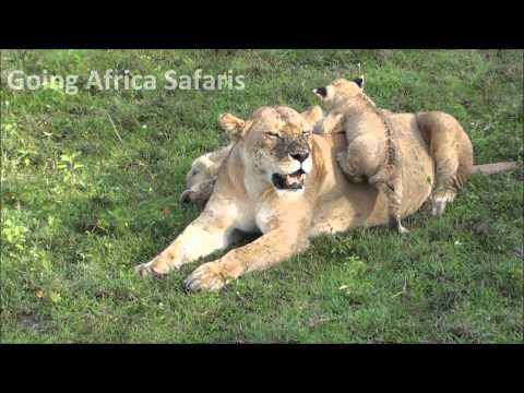 Lion cubs playing in the safety of Mom