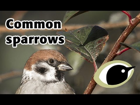 Bto Bird Id Common Sparrows Reed Bunting Youtube
