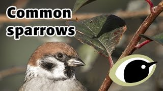 BTO Bird ID - Common sparrows & Reed Bunting