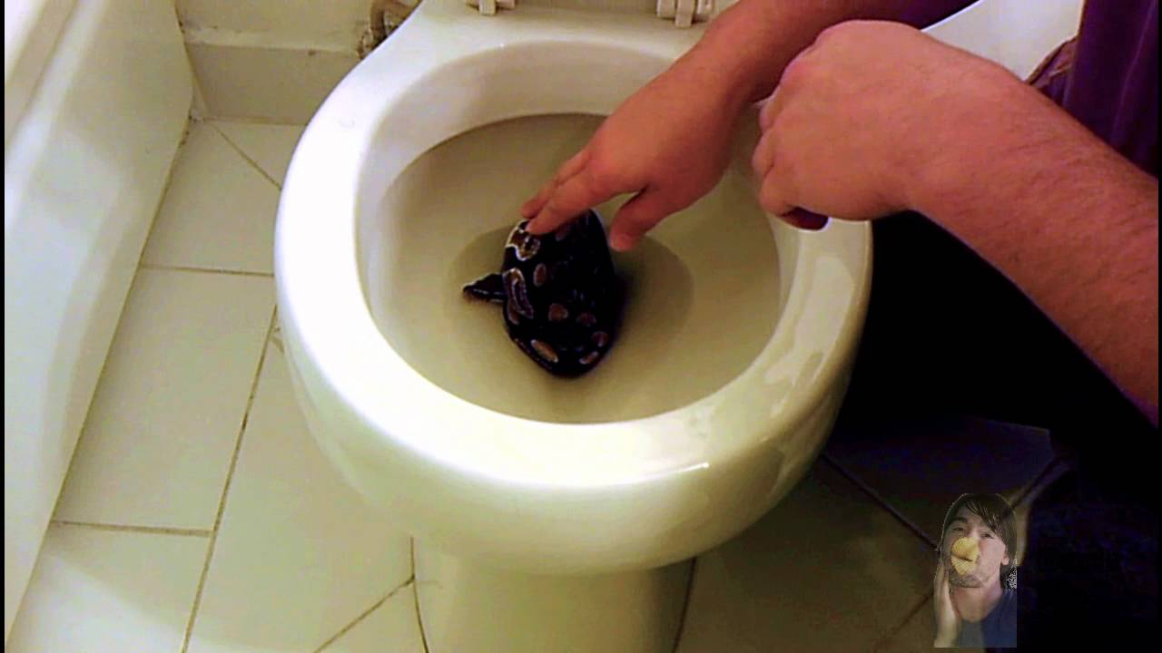 Snake In The Toilet - YouTube
