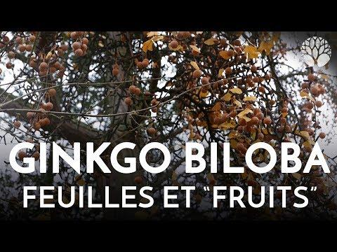Propriétés Ginkgo Biloba - 15 pistes pour améliorer sa concentration et sa concentration ...