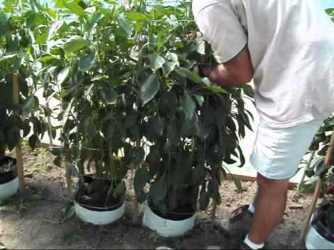 Semi//seeds Peperone CALIFORNIA WONDER