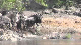 Tanzania - Crocodile vs Wildebeests at Grumeti River