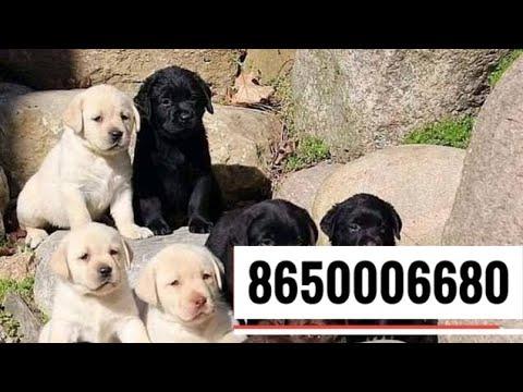 Pet Care Labrador Patna Bihar On