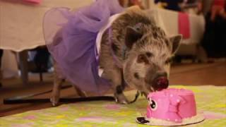 Meet Rosie, Canada's first Alzheimer's support piglet