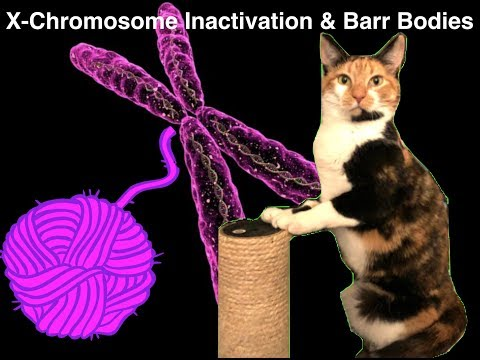 Genetics | X-chromosome Inactivation, Barr Bodies, and the Calico Cat