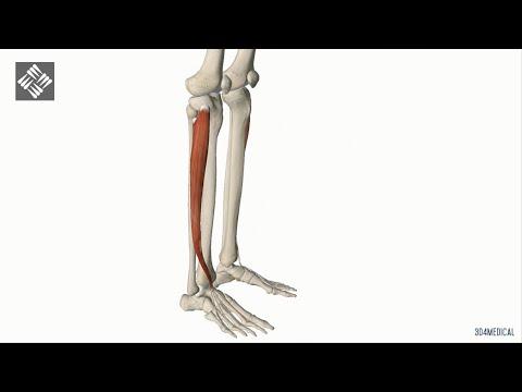 De musculos flexores piernas y extensores las