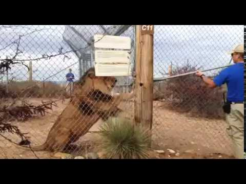 Alpha Male teaches you how to fight  a lion overlukk