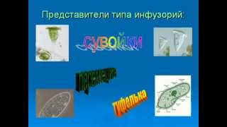 Тип инфузории Происхождение простейших AVI