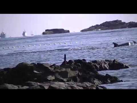 Dolphins herded to cove on the way to slaughter