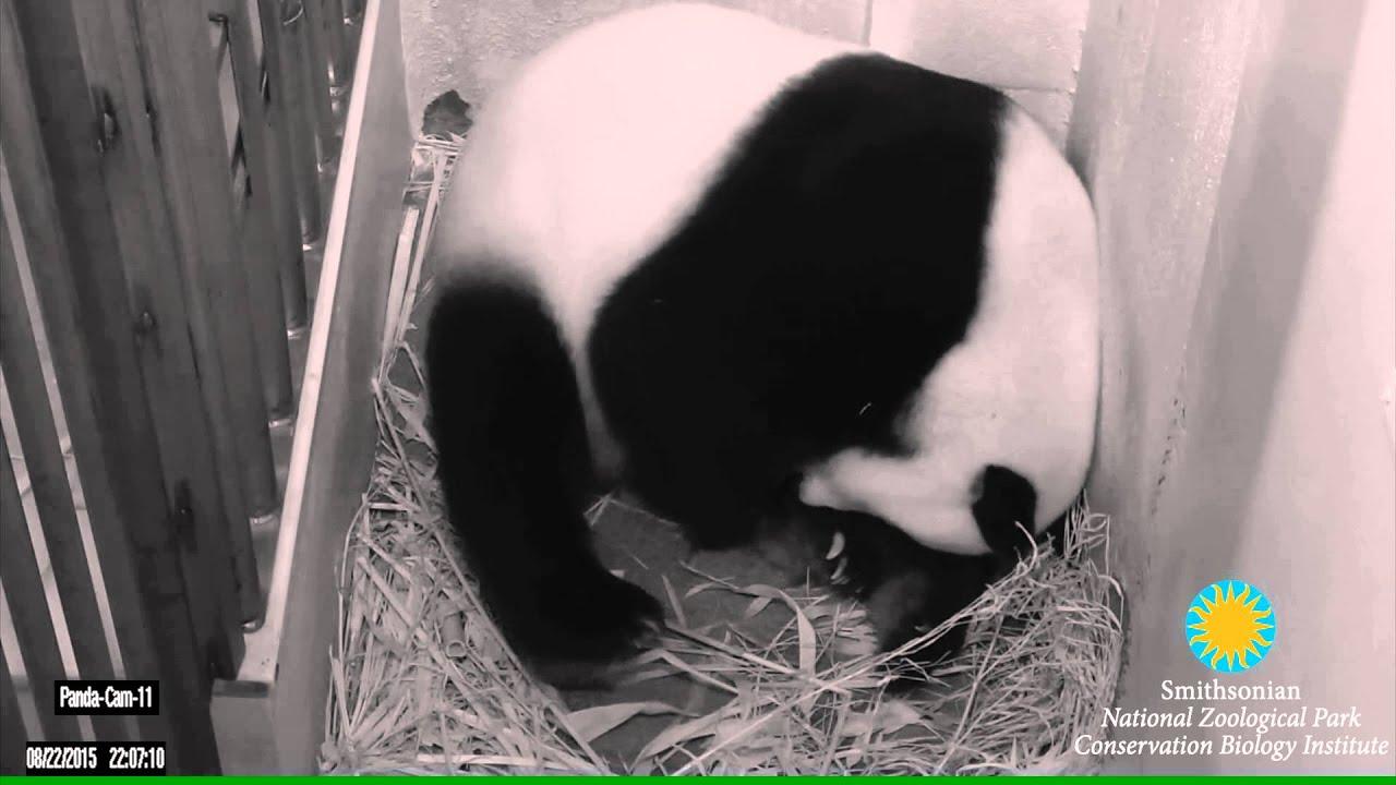 Manhandled Panda Cub Dies at Zoo   PETA
