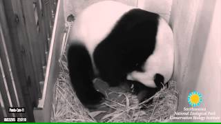 Mei Xiang Giving Birth to Second Cub Aug. 22 at 10:07 p.m.