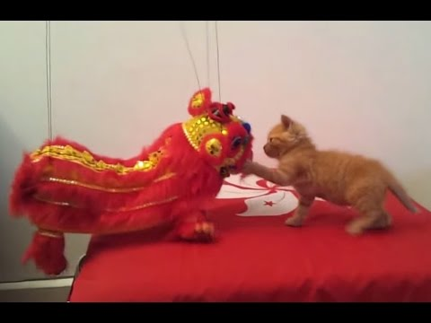 Mao the cat VS Chinese Lion