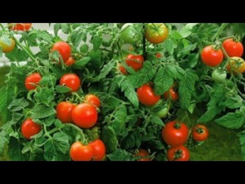 Explaining Determinate Tomato Plants in gardening
