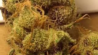 Ep 301 Purple Juicy Fruit ( Fruity Juice) Weed Strain Review SeNSI Seeds Prt 2 Medical