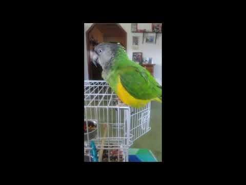 Saturday With A Senegal 16  |   Prevue Hendryx Travel Bird Cage 1305