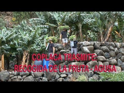 COPLACA TRASMITE: RECOGIDA DE LA FRUTA - AGUSA