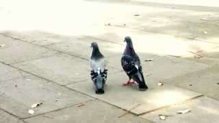 Pigeon Mating Games in Europe