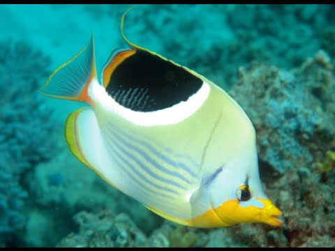 Butterfly Fish Swimming | Butterfly Fish Freshwater