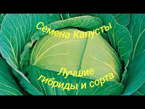 Семена Капуста Белокочанная Лучшие гибриды и сорта