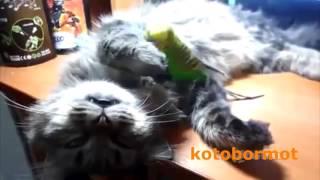 Попугай достает кота, приколы :)