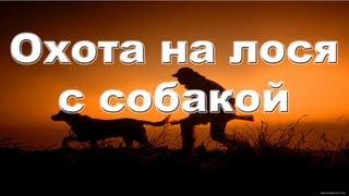 Охота на лося с собакой видео онлайн 2012-2013 Moose hunting with dog in Russia.