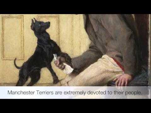 Manchester Terrier  - A Brief Description