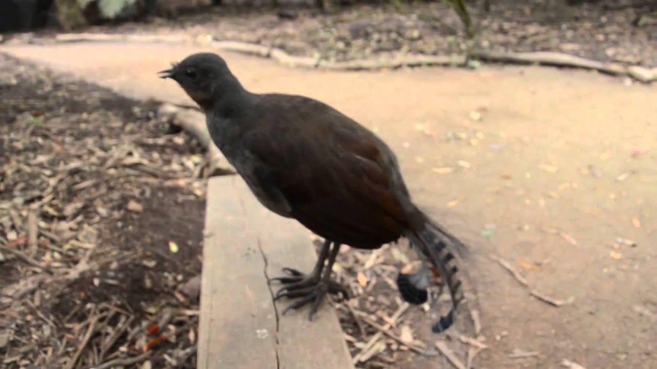 The Amazing sound of the Lyrebird