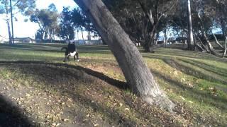Boulder Staffordshire Bull Terrier Running Free