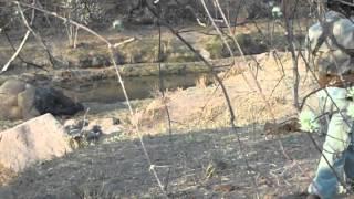Eléphant blessé et dangereux recherché par des chasseurs