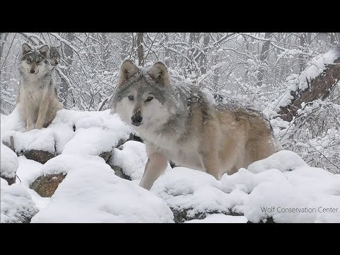 Endangered Mexican Gray Wolves in the Snow