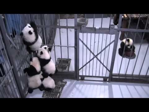 Panda cubs trying to climb up