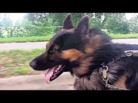 German Shepherd vs Bike Dog Jogger