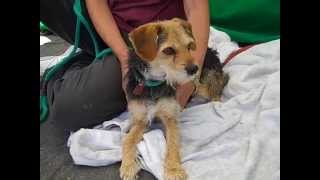 A4811502 Penelope | Border Terrier/jack Russell Terrier Mix
