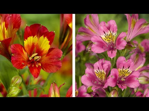 How to plant Alstroemeria video guide: Guide to planting Peruvian Lily