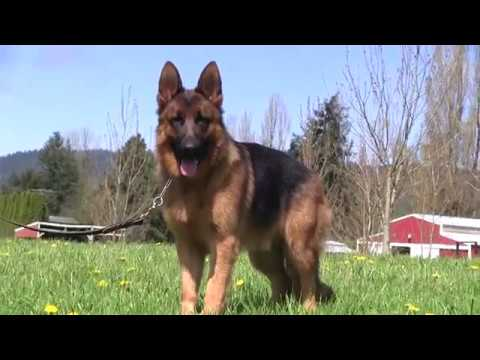 Red And Black Kraftwerk K9 German Shepherd In The Sun Youtube