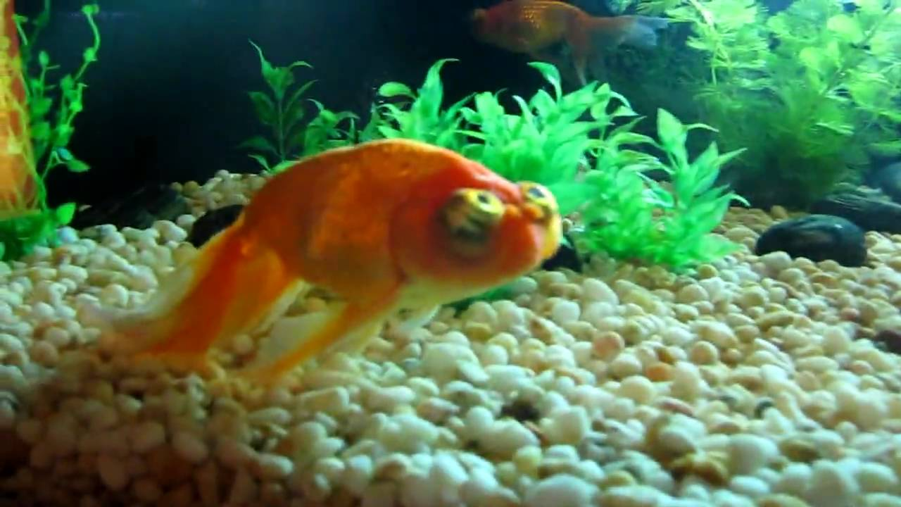 Ugly freshwater aquarium fish - Very Ugly Goldfish