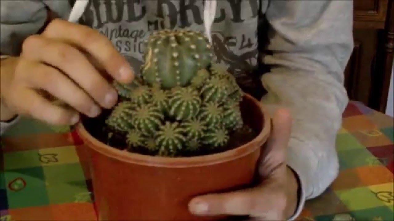 Reproducci n de cactus en invierno youtube - Como transplantar cactus ...