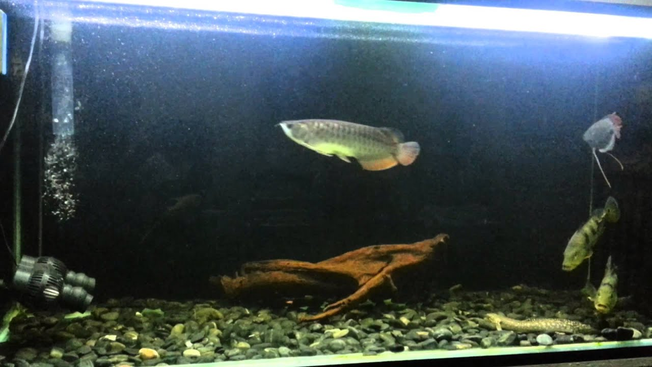 Arowana tank set up youtube for H m fish count