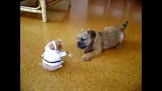 Border Terrier Puppy Vs. Kung Fu Hamster
