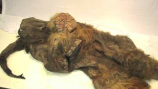 Intact Baby Woolly Mammoth Discovered