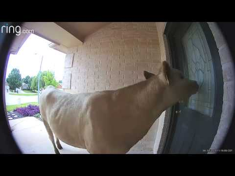 Derek Moore - WATCH: Doorbell Cam Catches Cow Wandering Up To Texas Home