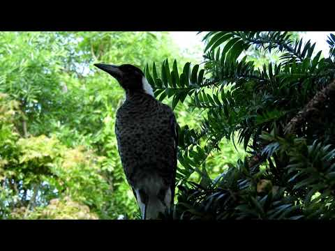 Видео: Magpie Learns to sing
