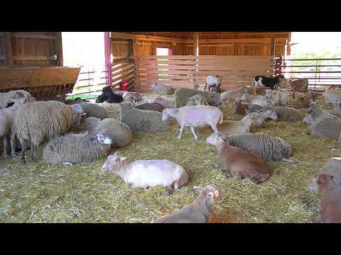 Sheep Barn Cam 05-24-2018 16:35:00 - 17:17:23