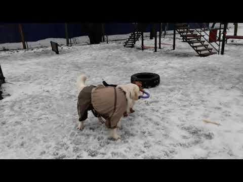 Welsh Terrier vs retriever