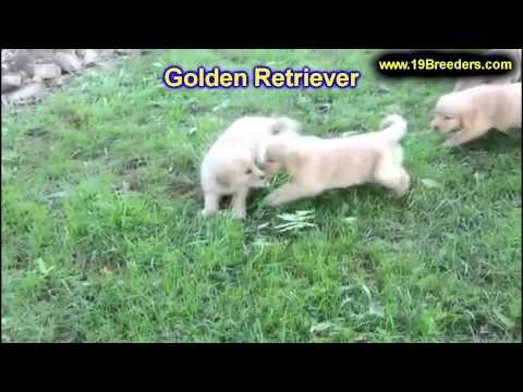 Golden Retriever, Puppies, For, Sale, In, East Honolulu, Hawaii, HI, Makaha, Pukalani, Haiku Pauwela