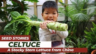 SEED STORIES | Celtuce: A Stocky Stem Lettuce From China